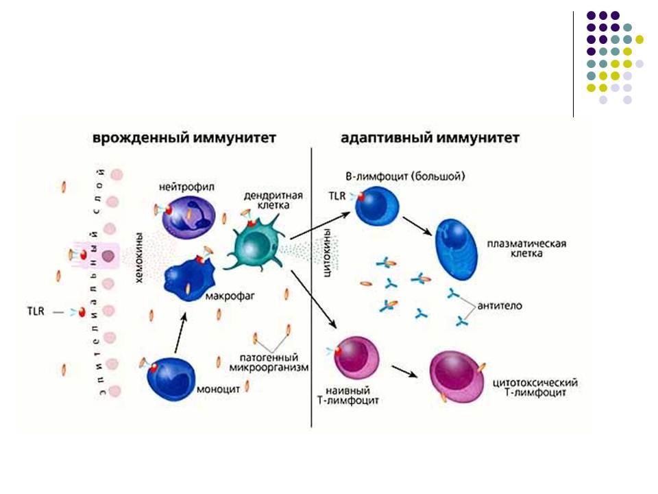 факторы противовирусного иммунитета на уровне клетки